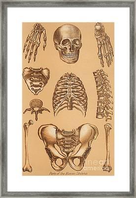 Anatomical Study Of The Human Skeleton, 1896 Framed Print