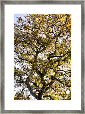 Ancient Autumn Oak Framed Print by Tim Gainey