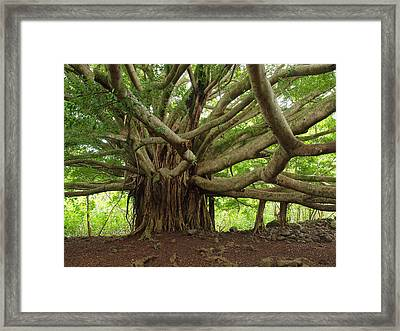 Ancient Banyan Beauty Framed Print by Phil Stone
