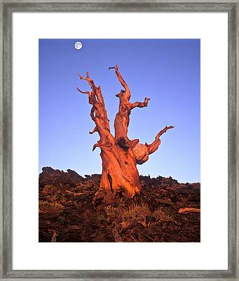 Ancient Bristlecone Pine And Moon Framed Print