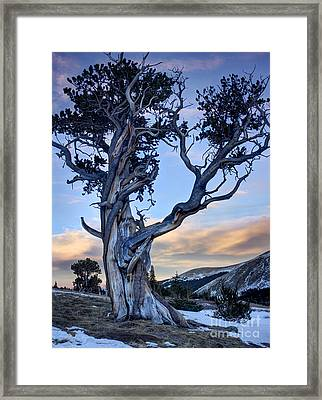 Ancient Bristlecone Pine Framed Print by Andrew Terrill