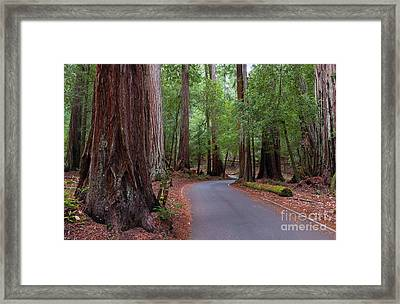 Ancient Redwoods Framed Print