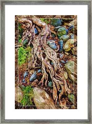 Ancient Sycamore Roots Framed Print