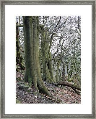 Ancient Trees Framed Print