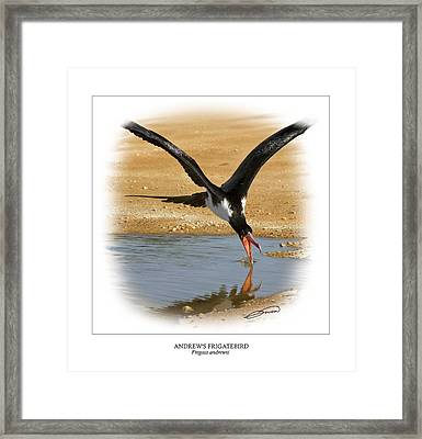 Andrews Frigatebird Fregata Andrewsi 4 Framed Print by Owen Bell