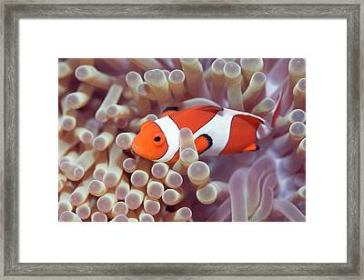 Anemone And Clown-fish Framed Print by MotHaiBaPhoto Prints