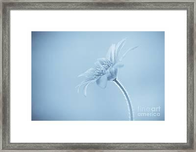 Anemone Blanda Cyanotype Framed Print by John Edwards