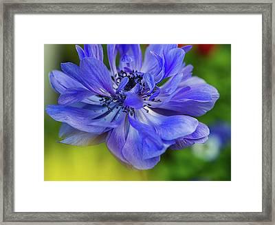 Anemone Blue Framed Print