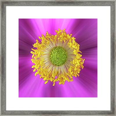 Anemone Hupehensis 'hadspen Framed Print by John Edwards