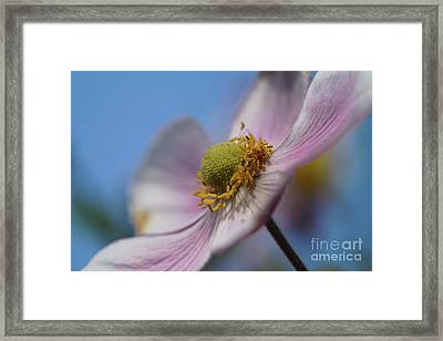 Anemone Tomentosa Close Up Framed Print