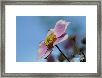 Anemone Tomentosa Flower Framed Print
