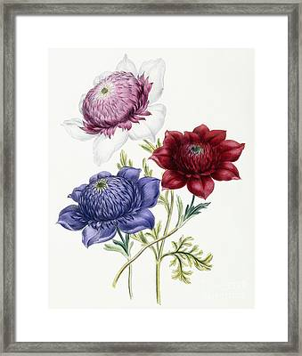 Anenomes Framed Print