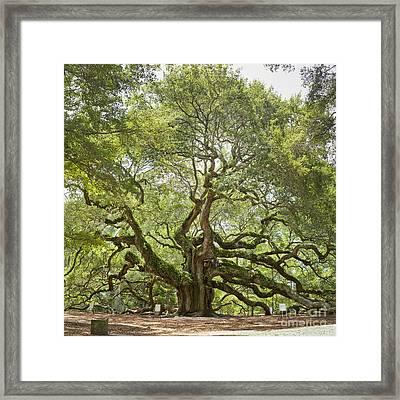 Angel Oak Tree Johns Island 64mp Framed Print by Dustin K Ryan