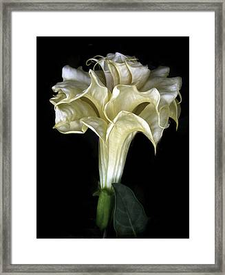 Angel Trumpet Framed Print