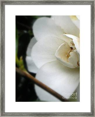 Angelic Camellia Framed Print by Mg Blackstock