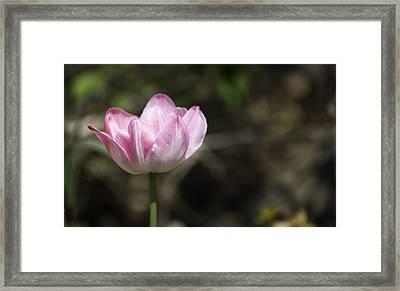 Angelique Peony Tulip 2 Framed Print by Teresa Mucha