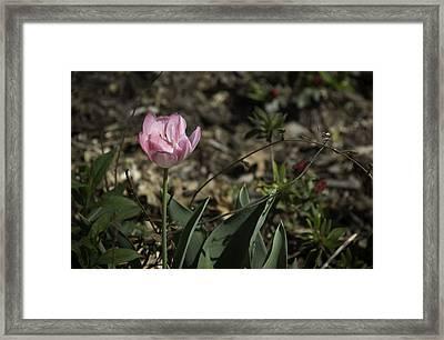 Angelique Peony Tulip Framed Print by Teresa Mucha