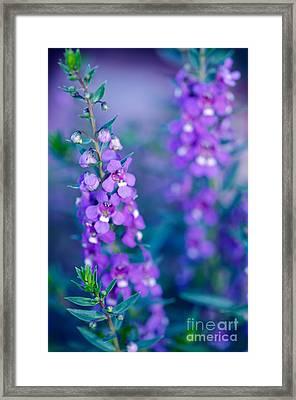 Angelonia Serena Framed Print by Betty LaRue