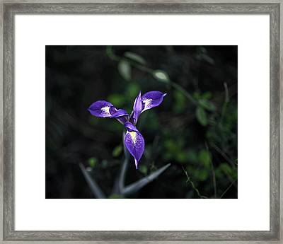 Framed Print featuring the photograph Angelpod Blue Flag by Sally Weigand