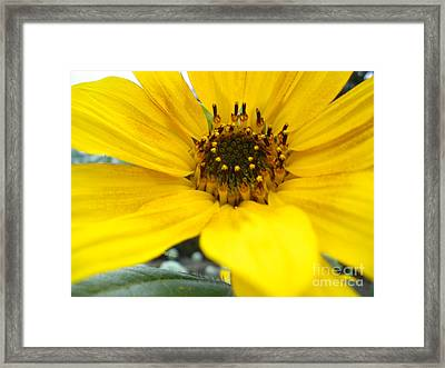 Angled Sunflower Framed Print by Sonya Chalmers