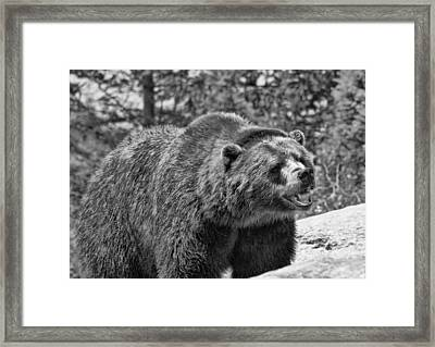 Angry Bear Black And White Framed Print by Dan Sproul