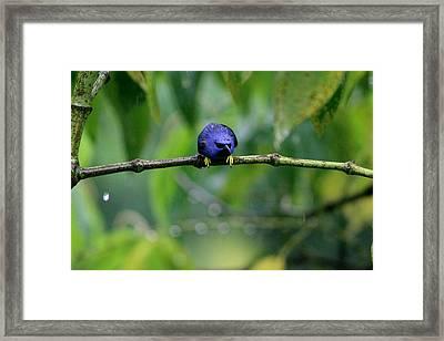 Poor Hummingbird Caught In The Rain Framed Print
