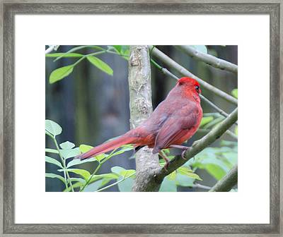 Angry Bird Framed Print by Julie Cameron