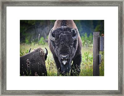 Angry Bison Framed Print by Greg Norrell