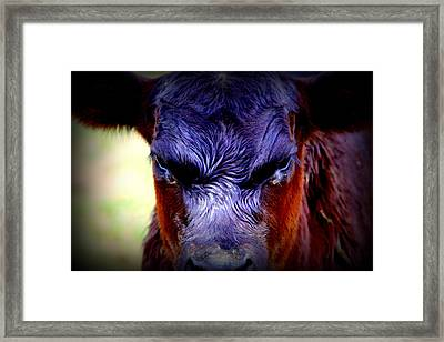 Angry Black Angus Calf Framed Print by Tam Graff