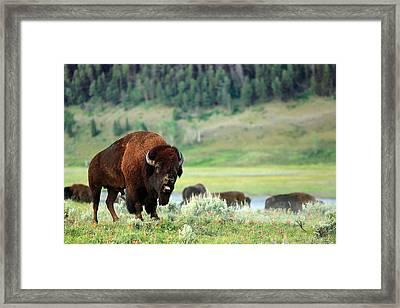 Angry Buffalo Framed Print