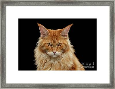 Angry Ginger Maine Coon Cat Gazing On Black Background Framed Print