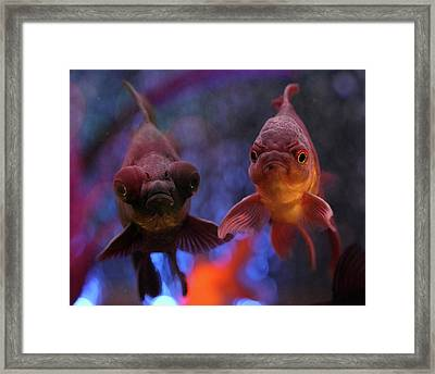 Angry Goldfish Framed Print