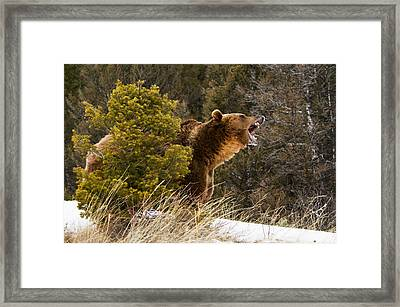 Angry Grizzly Behind Tree Framed Print