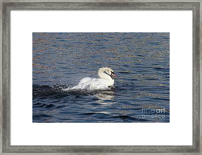 Angry Swan On The Water Framed Print by Michal Boubin