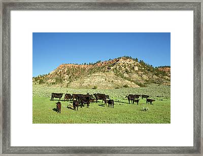 Angus At Cherry Butte Framed Print by Todd Klassy