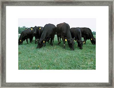 Angus Cattle Framed Print by Science Source