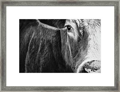Angus Cow Black And White Framed Print by Debi Bishop