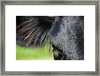 Angus Eye Framed Print by Lynda Dawson-Youngclaus