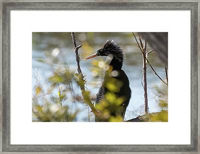 Anhinga 3 March 2018 Framed Print