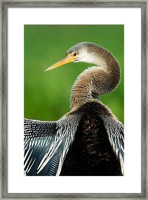 Anhinga Anhinga Anhinga, Pantanal Framed Print by Panoramic Images