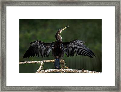 Anhinga Anhinga Anhinga Perching Framed Print by Panoramic Images