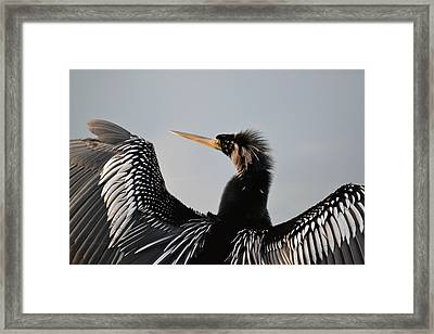 Anhinga Anhinga Portrait - Water Turkey Framed Print