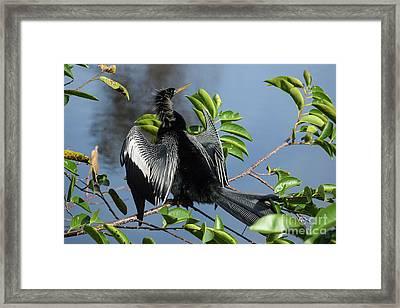 Anhinga Beauty Shot Framed Print