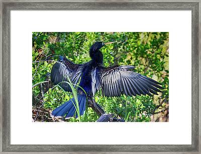 Framed Print featuring the photograph Anhinga Blue Eye by Deborah Benoit