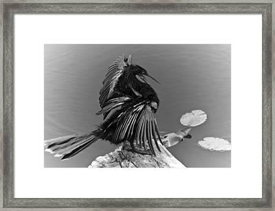 Anhinga Framed Print by Carolyn Marshall