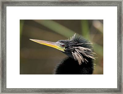 Anhinga Close-up Framed Print