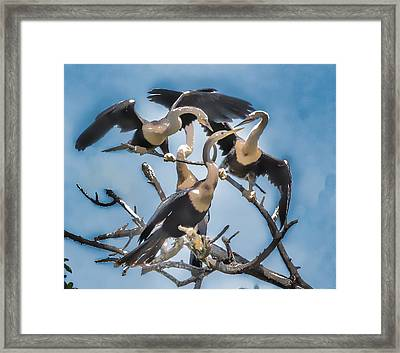 Anhinga Feeding Time Framed Print