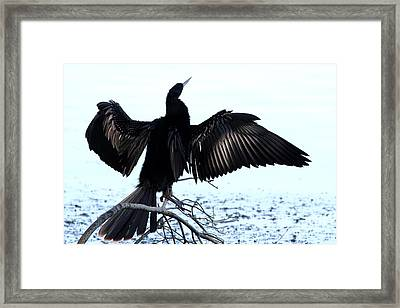 Anhinga Spread Eagle Framed Print