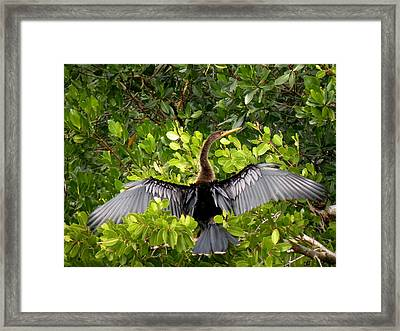 Anhinga With Silver Wings Framed Print by Rosalie Scanlon