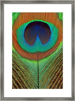 Animal - Bird - Peacock Feather Framed Print
